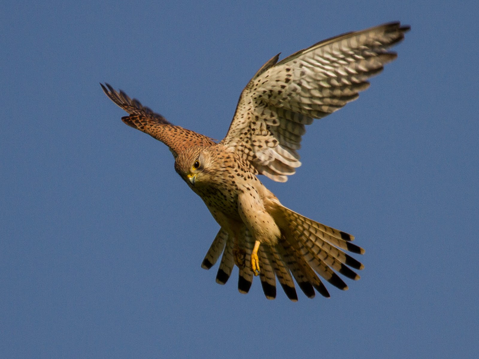 Common_kestrel_in_flight.jpg