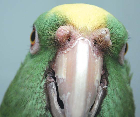 Cere of a yellow-fronted Amazon
