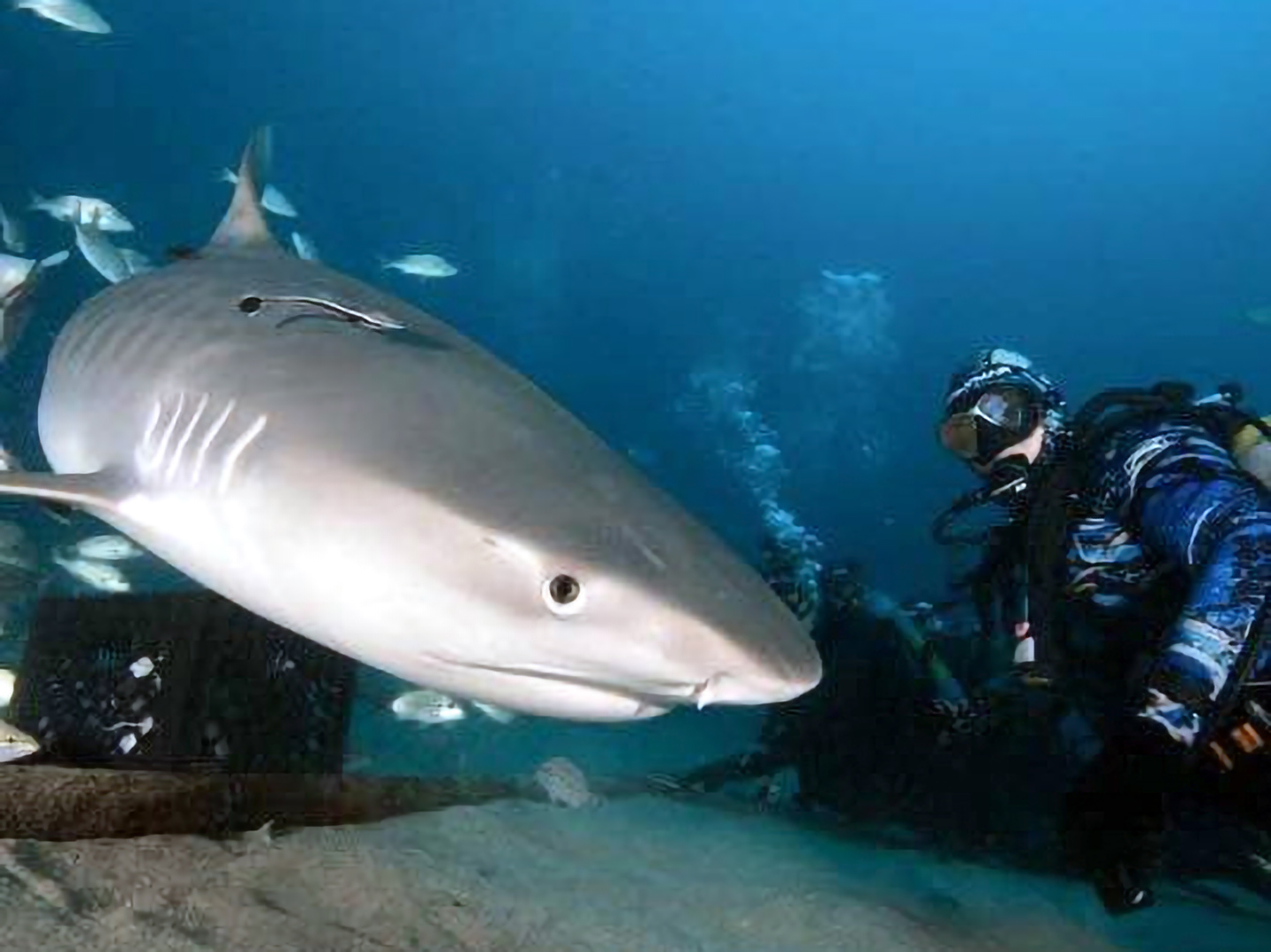 An image of a diver near a Shark in the Florida Keys