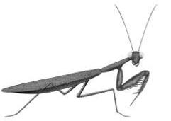 Picture of a praying mantis