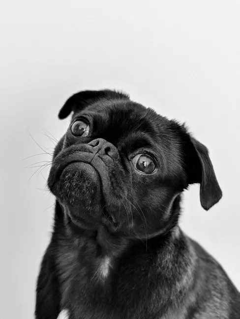 Cute Black Pug looking to camera