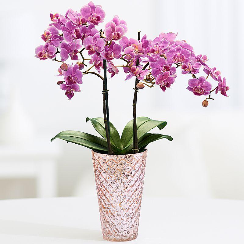 Dendrobium Orchid.jpg