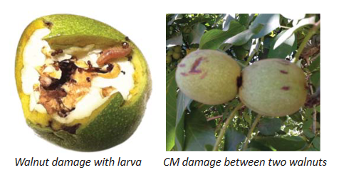 Left image shows a damaged walnut with a codling moth caterpillar and ants. Right image shows two damaged walnuts touching each other.