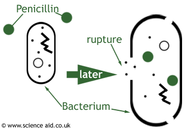 Science Projects likewise Rif icin For Biochemistry 99 further 16629 likewise Tenckhoff Catheter also Chemistry Of Antibiotics Cell Wall Synthesis. on 3 types of bacteria