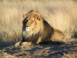Description: Panthera leo.jpg