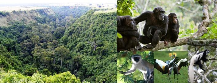 Image result for photos of chimpanzee at Kyambura gorge