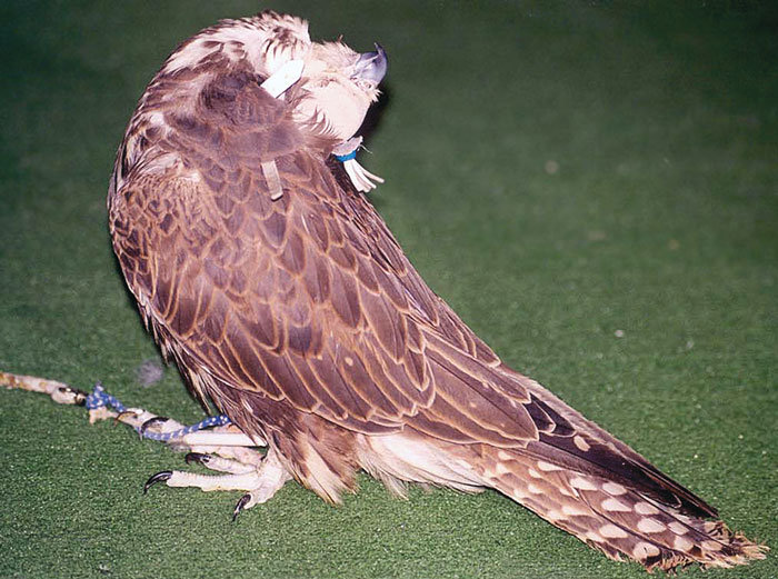 Saker falcon displaying opisthotonos, a common central nervous sign associated with vitamin B complex deficiency in raptors