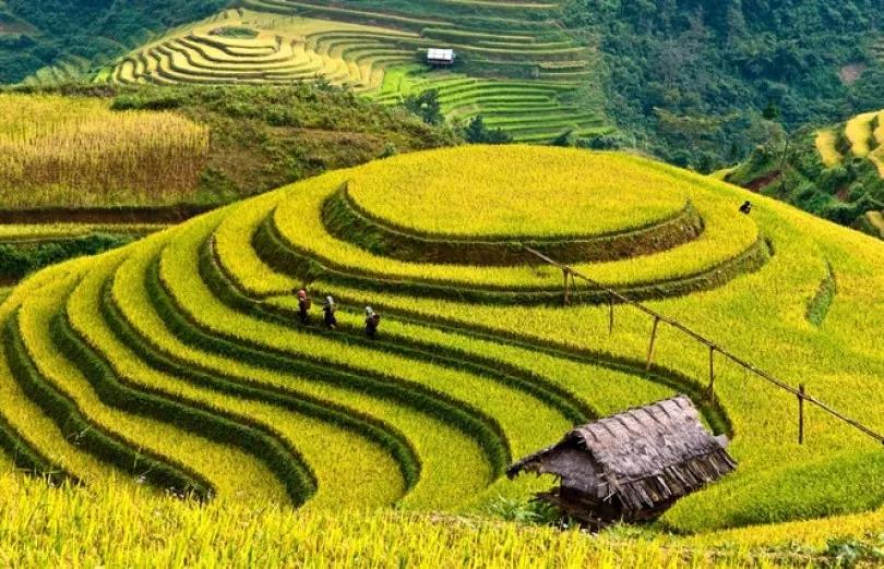 Ruộng Bậc Thang đang độ mùa lúc chín tại SaPa