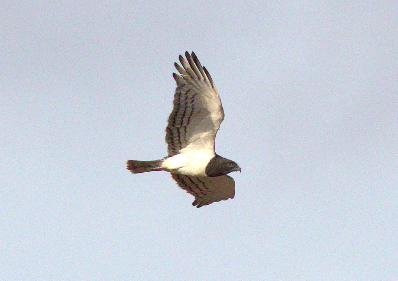 black-chested snake-eagle (Copy).jpg