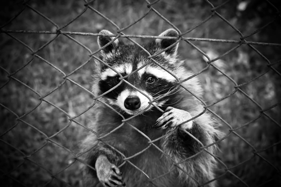 raccoon-animal-animal-world-wildlife-photography-160709.jpg