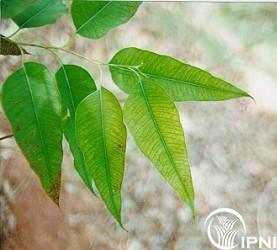 Resultado de imagem para deficiencia de ferro nas plantas