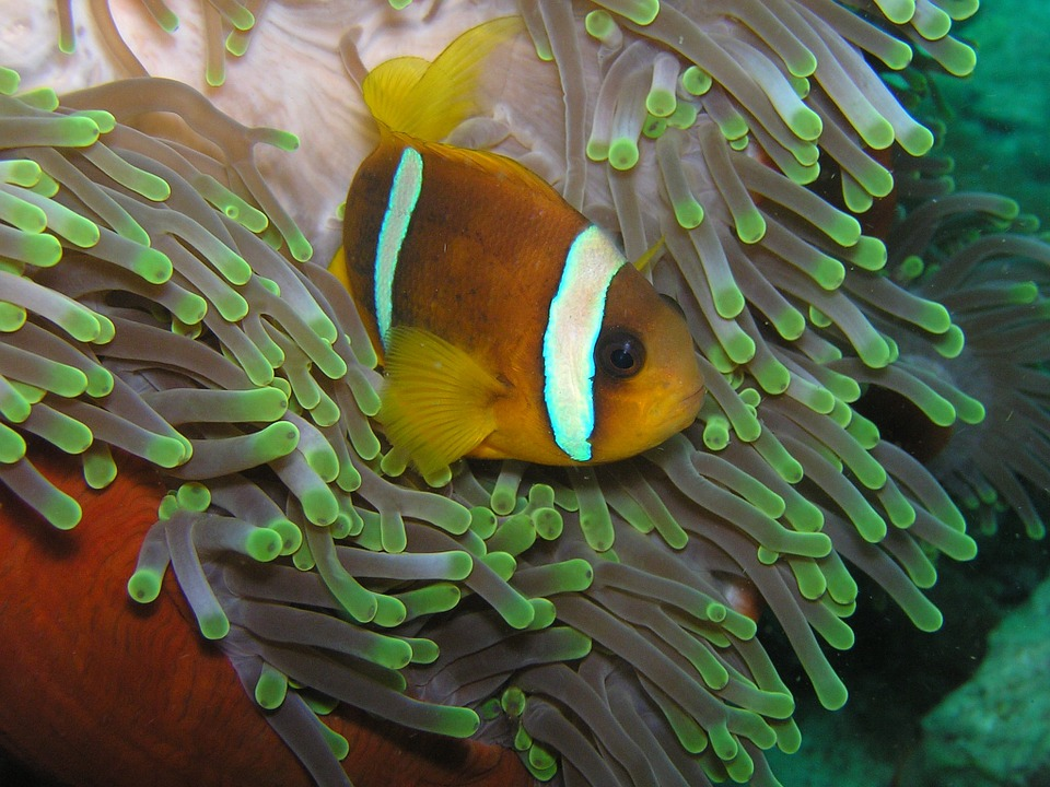 Anemone, Fish - Free images on Pixabay