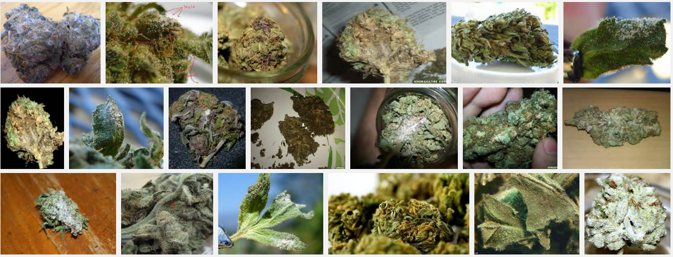 Marijuana Strains and Mold