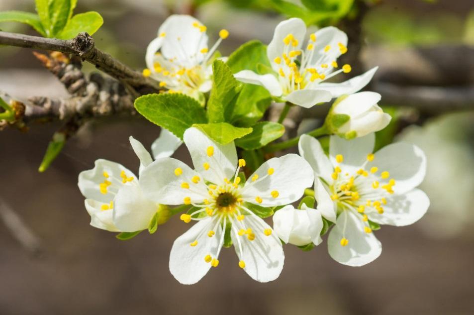 Цветы сливового дерева