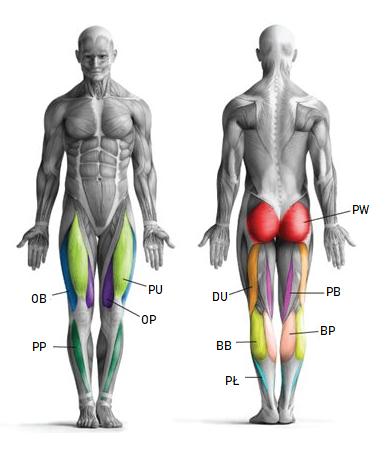 , Jakie mięśnie pracują podczas jazdy na rowerze?