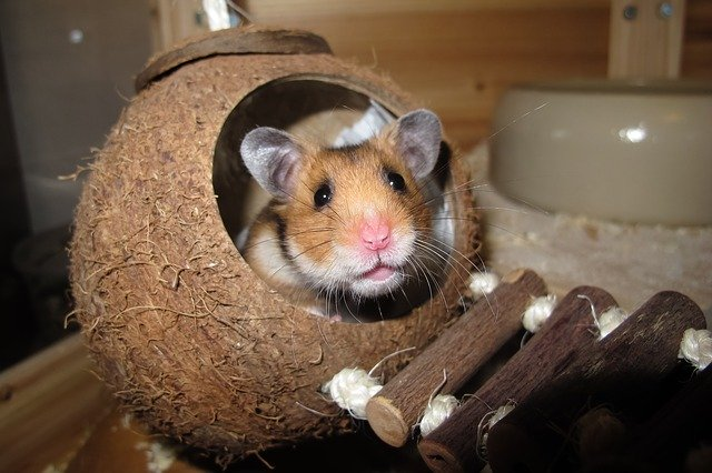 Hamsters | Searching for an easy pet to adopt?