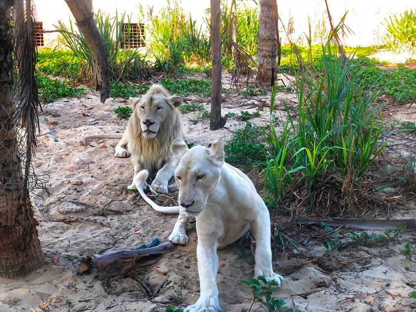 Sư tử trắng tại FLC Zoo Safari Park Quy Nhơn