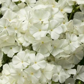 Intensia® White - Phlox hybrid