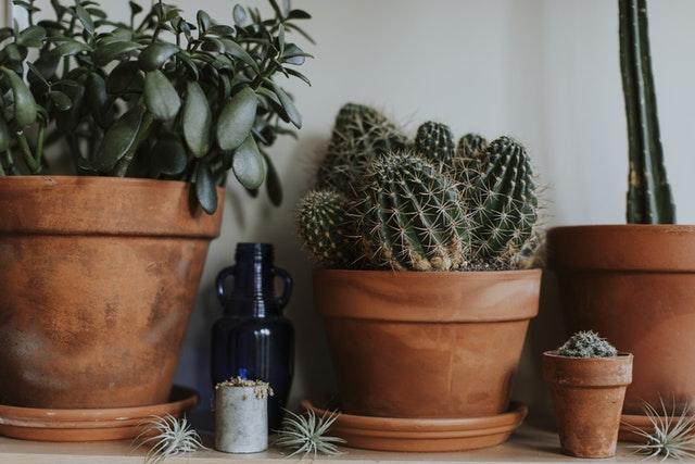 Cantitate apa plante suculente