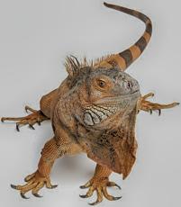 iguana-w200.jpg