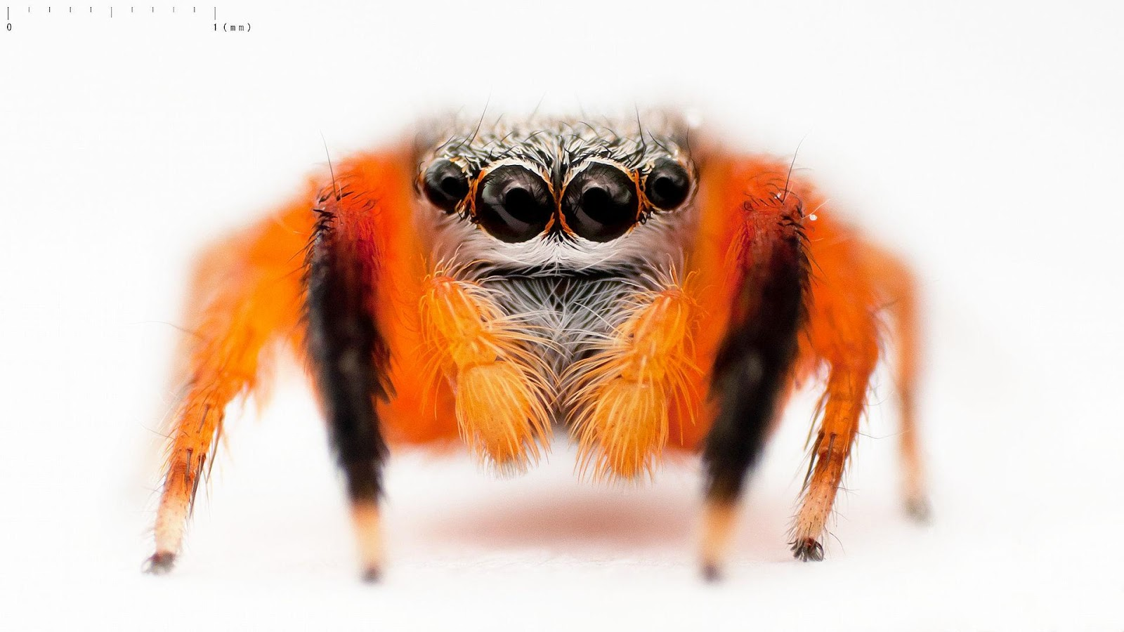 C:\Users\PatK\Pictures\Euophrys_kataokai_DSC_8526 Adorable Jumping Spider Japanese.jpg
