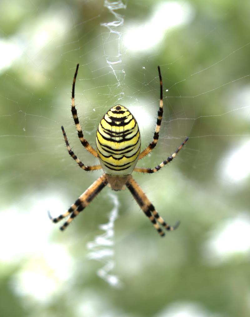 wasp spider_rsz.jpg