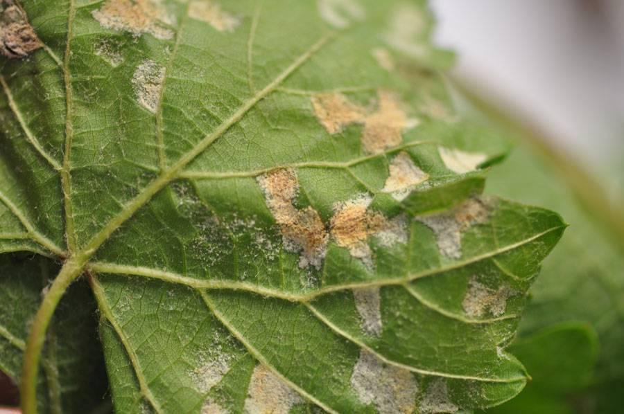 Тугая паутина на виноградном листе