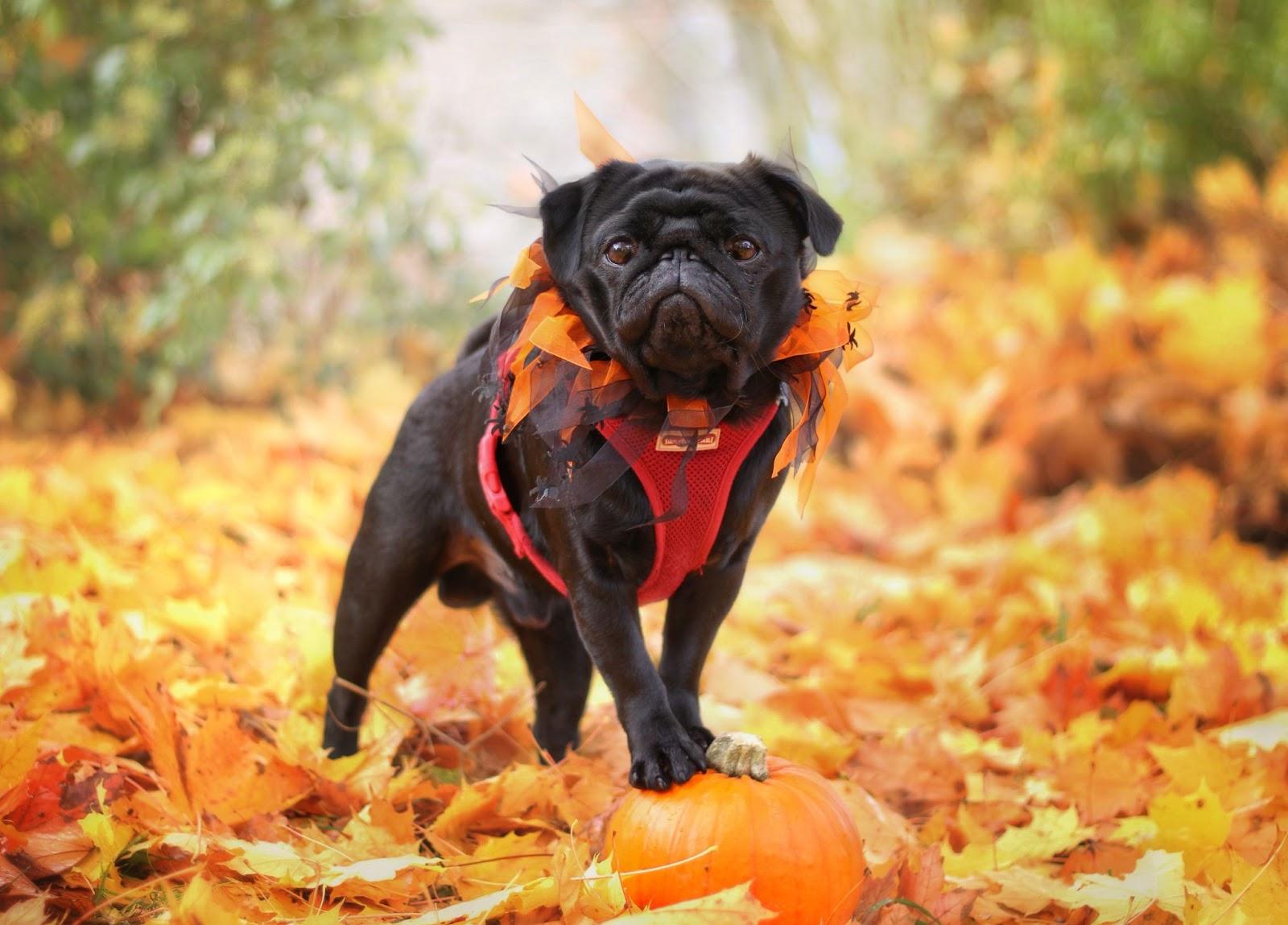 black pug standing on a pumpkin in fall foliage