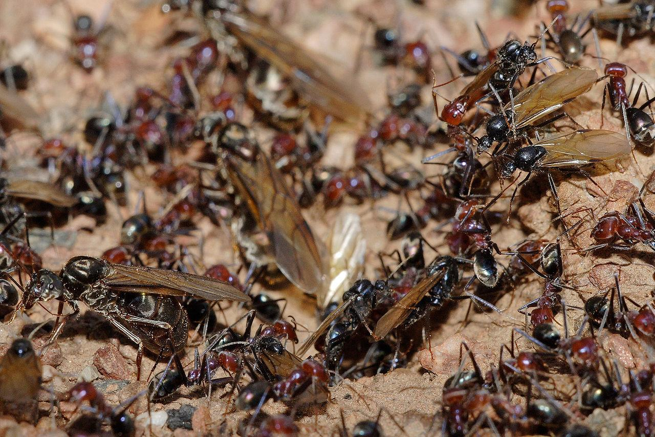 https://upload.wikimedia.org/wikipedia/commons/thumb/5/5f/Meat_eater_ant_nest_swarming02.jpg/1280px-Meat_eater_ant_nest_swarming02.jpg