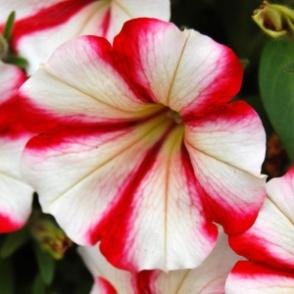 Image result for petunia crazytunia cherry cheesecake