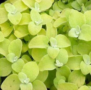 http://loghouseplants.com/plants/wp-content/uploads/2012/01/Helichrysum_LemonLicorice-700x600.jpg