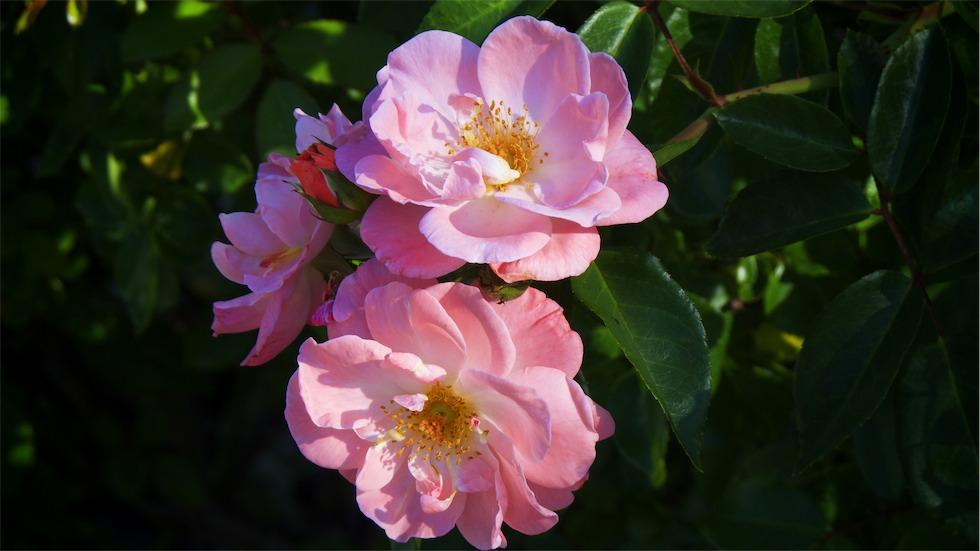 Pink Cluster.jpg