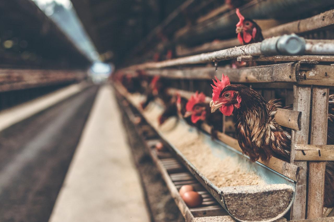 A criação de frangos é uma das mais afetadas pela falta de energia