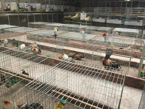 Nuôi gà Kinh tế - Mô hình nuôi gà trong VAC hiện nay