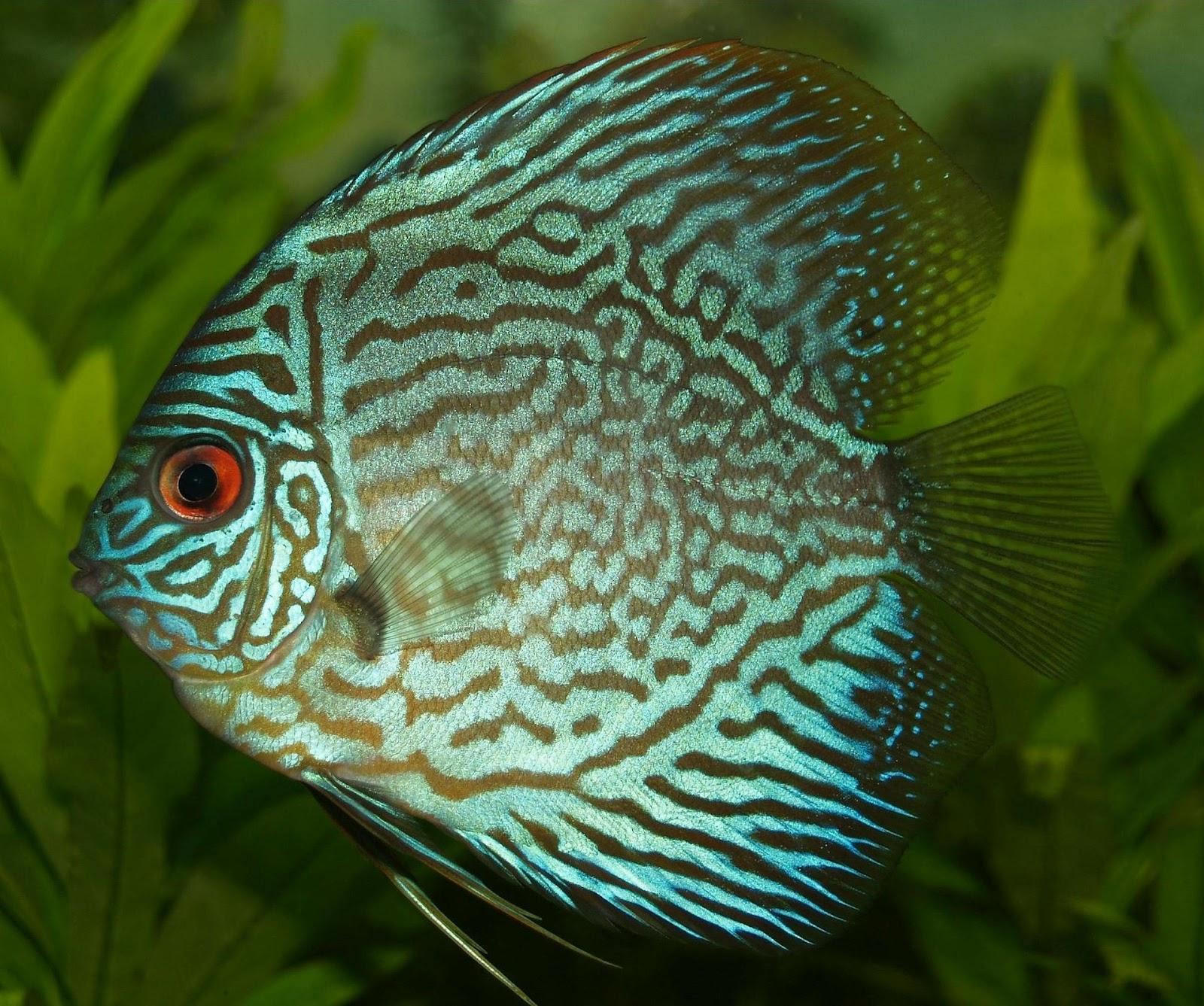 Cichlid in planted aquarium
