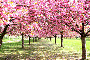 Manual-Settings-and-Landscape-Photography-at-the-BBG-Cherry-Blossoms-02.png