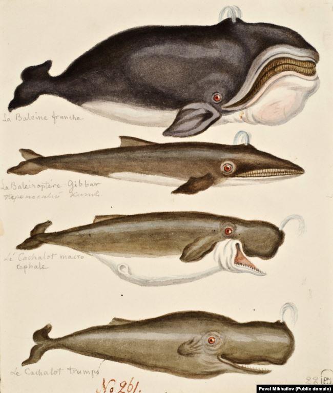 Некоторые из китов, увиденных в экспедиции. Причудливые иллюстрации могут указывать на то, что обычно очень внимательный к деталям Михайлов видел только силуэты китов.