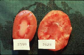 Nefritis intersticial y fibrosis como resultado de una infección crónica con L. canicola. Riñón normal (izquierda), riñón enfermo (derecha).