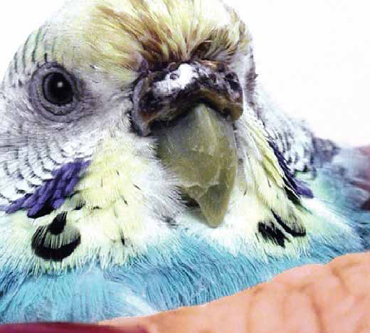 An old female budgerigar with IDC, chronic rhinorrhea and secondary rhinal infection with yeast and/or bacteria