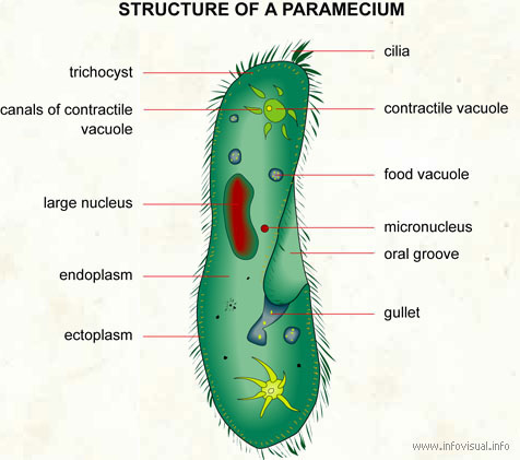 Courtney cs bio blog protista draw and label a diagram of paramecium use your text or technology to help you nucleus oral groove cell membrane cilia contractile vacuole ccuart Gallery