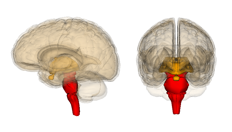 https://upload.wikimedia.org/wikipedia/commons/7/7b/Brainstem.png