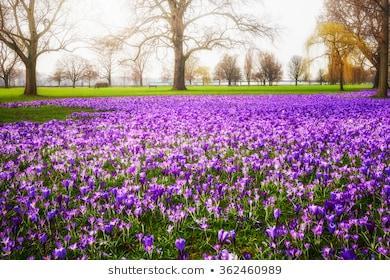 https://image.shutterstock.com/image-photo/blooming-crocus-flowers-park-spring-260nw-362460989.jpg