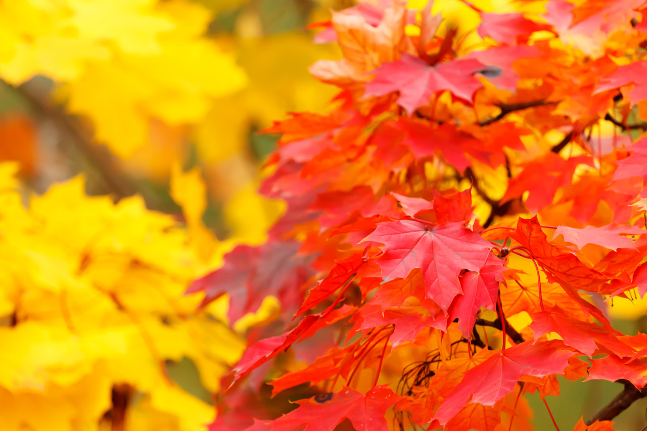 Yellow Autumn Leaves Free Stock Photo - Public Domain Pictures