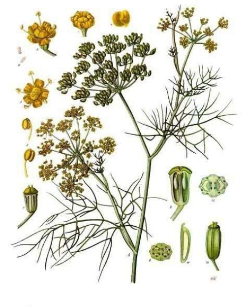 Plant List, The Herbal Commons, Dromiskin Credit Union   Botanical ...