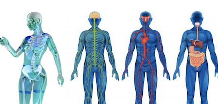 The human anatomy in 4 models