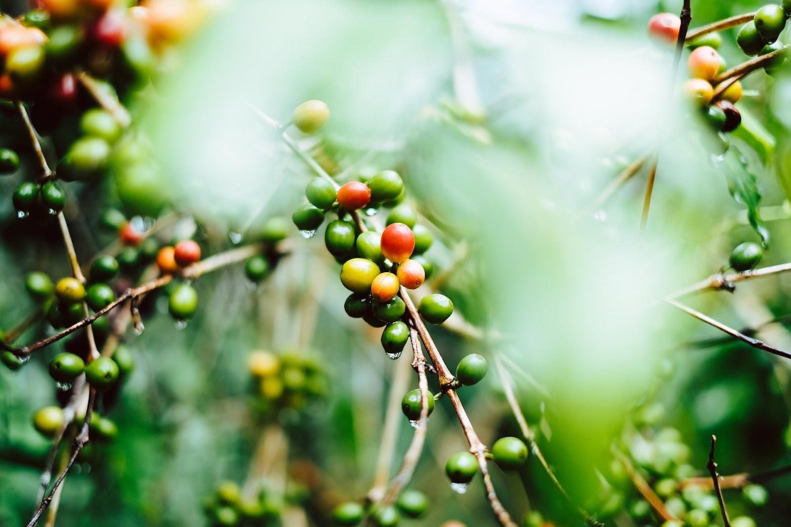 Análise dos custos de produção do café pela CNA permitiu enxergar aperto na margem líquida (Fonte: Unsplash)