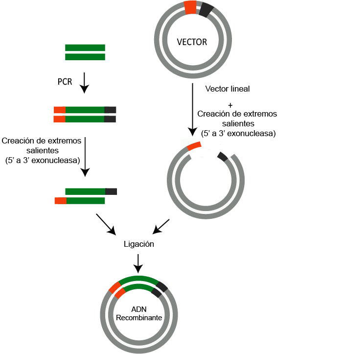 clonacion lisa (CL)