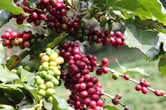 Cà phê arabica Cầu Đất hương vị bạn không thể bỏ qua