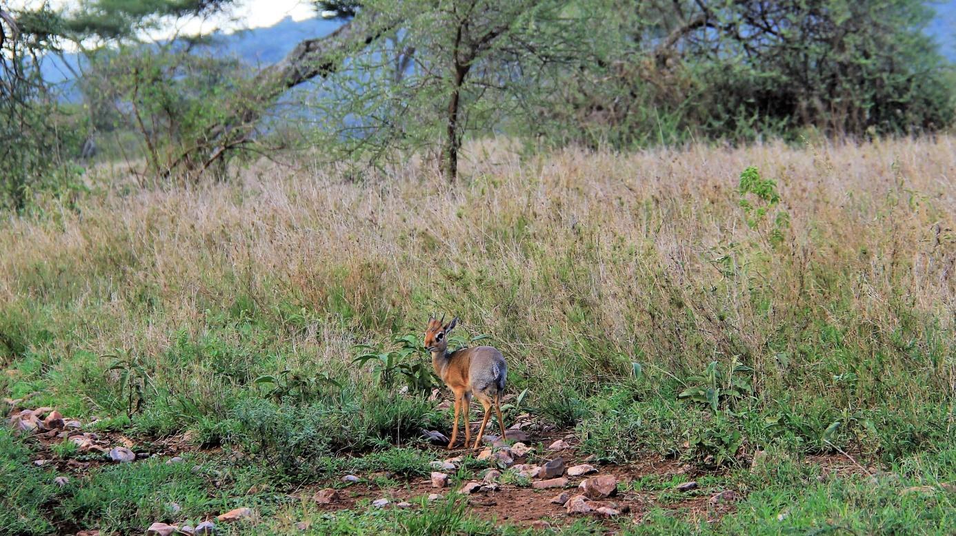 C:\Users\Administrator\Documents\Documents\Putovanja\PUTOPISI\KENIJA I TANZANIJA\7\Slike\Antilopa, Serengeti, Zoran Bijač.jpg