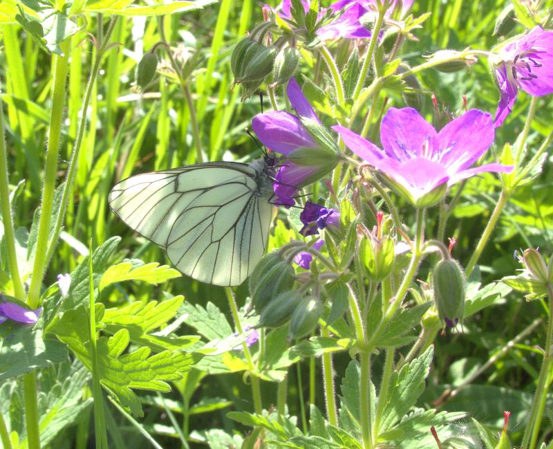 black-veined white_rsz.jpg